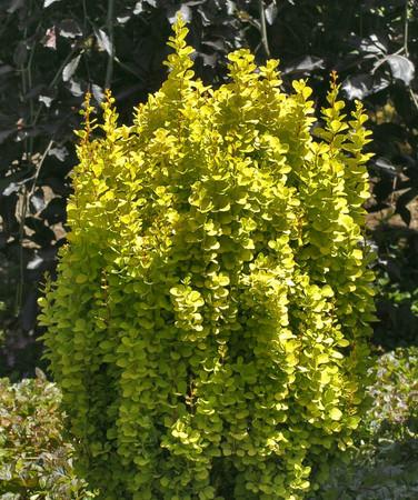Berberis thunbergii Golden Torch Narrow Yellow Japanese Barberry