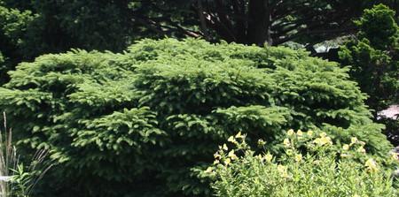 Picea abies Nidiformis Dwarf Norway Spruce