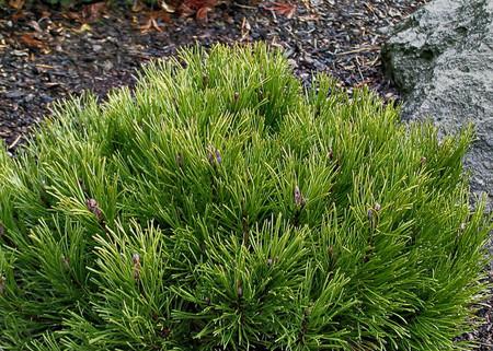 Pinus mugo Palouse Miniature Mugo Pine