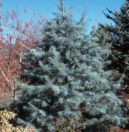 Abies concolor 'Blue Cloak' White Fir Tree