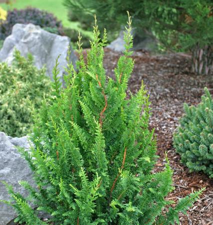 Chamaecyparis obtusa Filicoides Compacta Hinoki Cypress