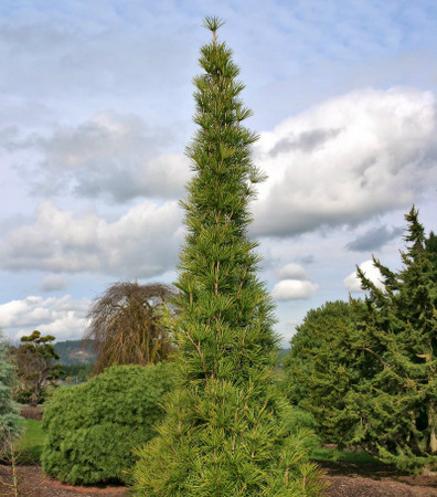 Sciadopitys verticillata Joe Kozey Narrow Japanese Umbrella Pine