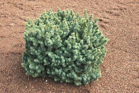 Picea abies ' Bella ' Miniature Norway Spruce