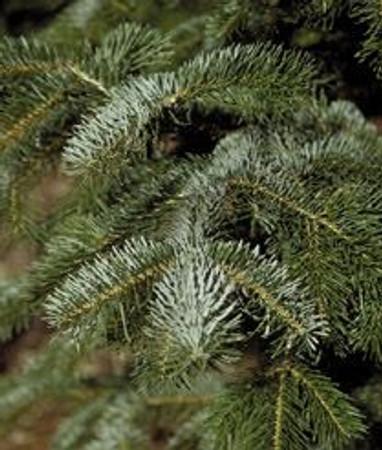 Abies cilicica Cilician or Taurus fir