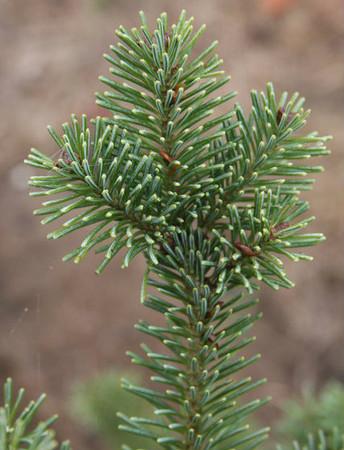 Abies durangensis var. coahuilensis Durango Fir