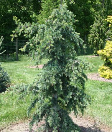 Cedrus libani Blue Angel Cedar of Lebanon