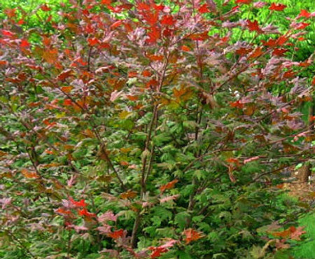 Acer circinatum Pacific Purple Vine Maple