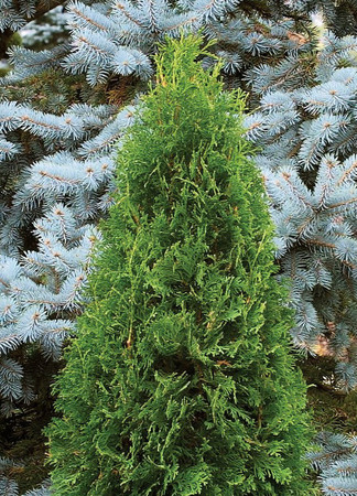 Thuja occidentalis Rushmore Narrow Eastern Arborvitae