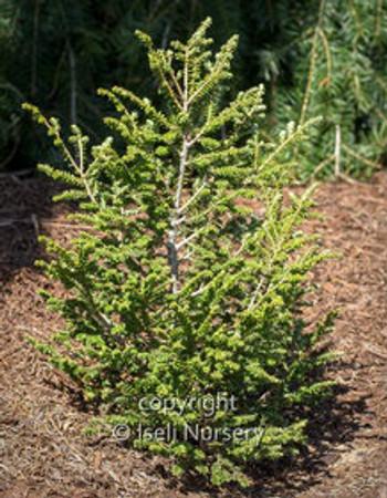 Tsuga canadensis Hebefolia Miniature Canadian Hemlock