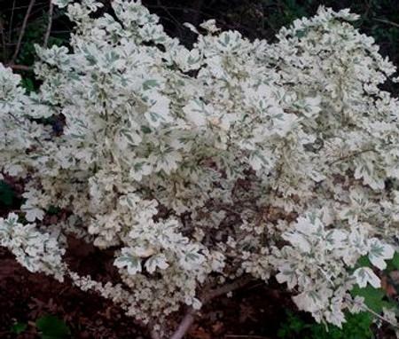 Acer campestre Carnival Variegated Hedge Maple