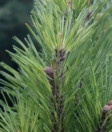 Pinus mugo Misty Dwarf Variegated Pine