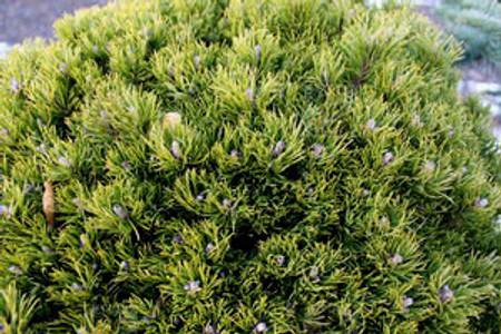 Pinus mugo Emerald Dwarf Miniature Pumilio Pine