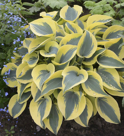 Hosta Autumn Frost Blue With White Margins