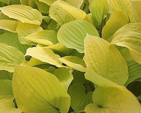 Hosta Fire Island Golden Yellow