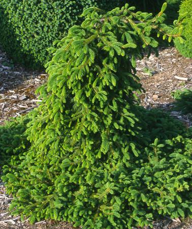 Picea abies Farnsburg Weeping Norway Spruce