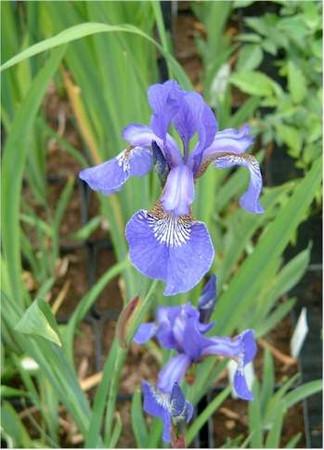 Iris sibirica Blue King Light Purple Flower
