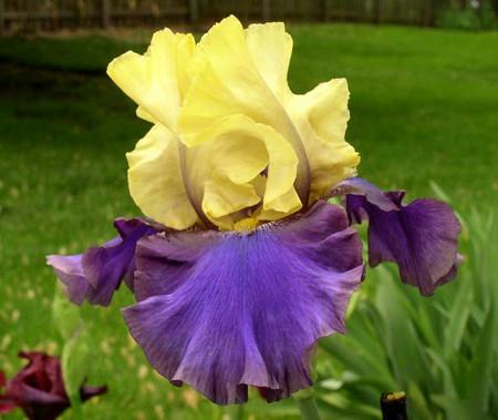Iris x Jurassic Park Purple and Yellow Flower