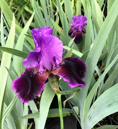 Iris x Violet Turner Purple Flower