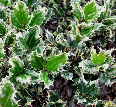 Ilex aquifolium Ferox Argentea Hedgehog Holly