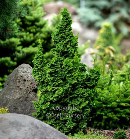 Thuja occidentalis IslPrim Primo Dwarf Arborvitae