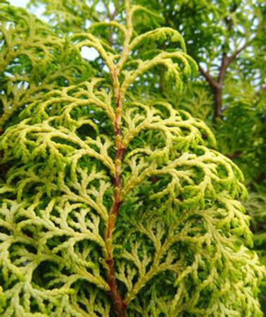 Chamaecyparis obtusa Melody Golden Hinoki Cypress