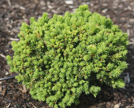 Picea abies Hasin Miniature Norway Spruce