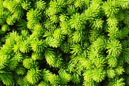Picea abies Lilliput Miniature Norway Spruce