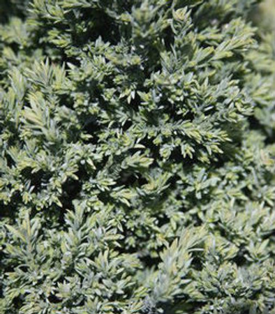 Chamaecyparis lawsoniana Rimpelaar Mini Port Orford Cedar