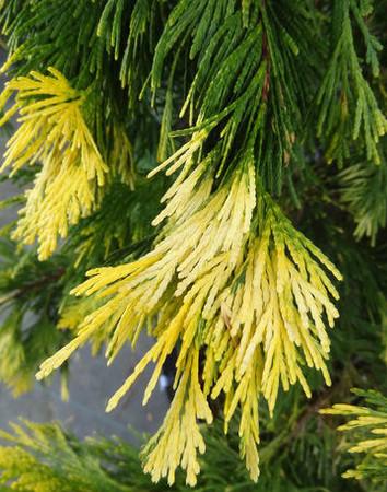 Calocedrus decurrens Maupin Glow Golden Incense Cedar