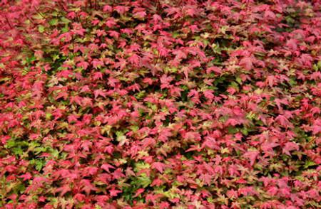 Acer palmatum Beni hime Dwarf Red Japanese Maple Tree