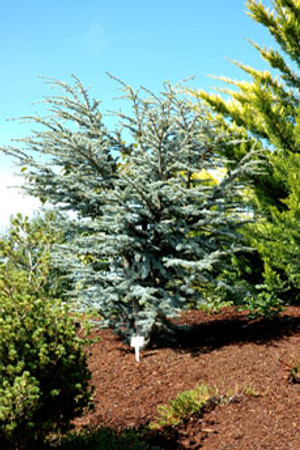 Cedrus atlantica Horstmann Dwarf Blue Atlas Cedar Tree
