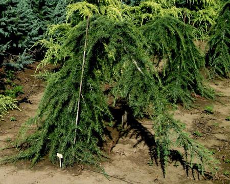Cedrus deodara Girard's Weeping Himalayan Cedar