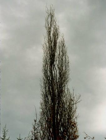 winter Dawyck Gold Golden Columnar Beech Tree