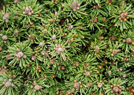 Pinus mugo Mayfair Dwarf Mugo Pine