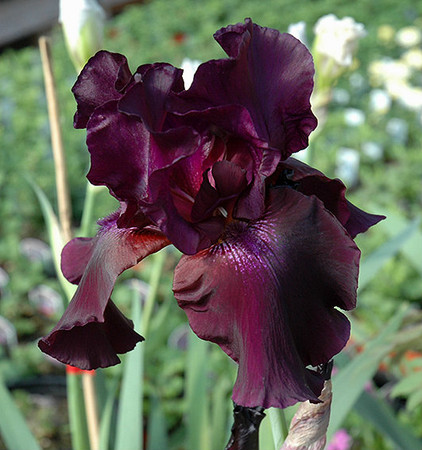 Iris Superstition Deep Purple Flower