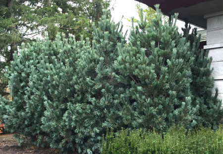 Pinus flexilis Joe Burke Blue Limber Pine