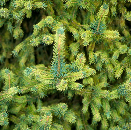 Picea abies Gold Dust Dwarf Variegated Norway Spruce