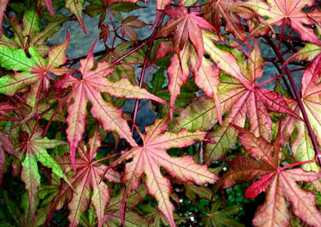 Acer palmatum Baby Ghost Variegated Japanese Maple