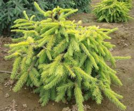 Picea abies Aurea Jacobsen Dwarf Golden Norway Spruce