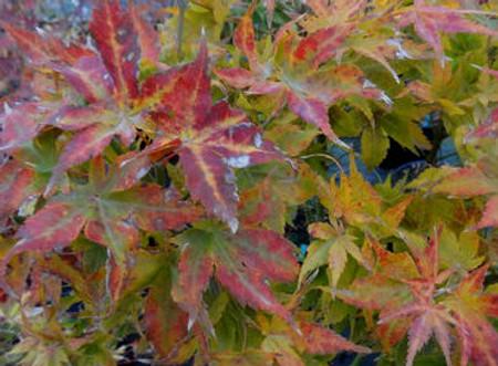 Acer palmatum Kurenai jishi fall colors