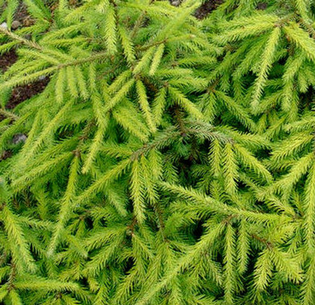Picea abies Dandylion Golden Dwarf Norway Spruce