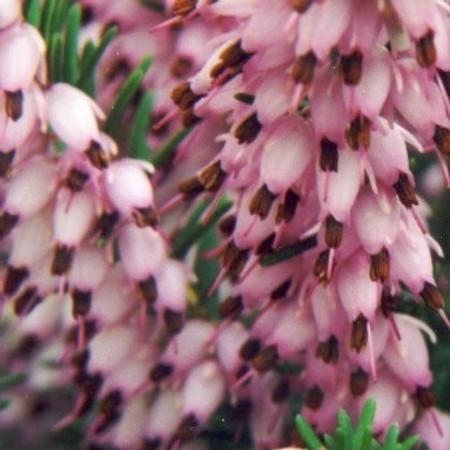 Erica x darleyensis Darley Dale Pink Flower Hybrid Heath