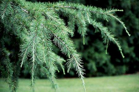 Himalayan Cedars