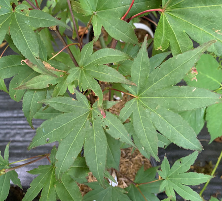Acer palmatum Emerald Sunset Japanese Maple Tree