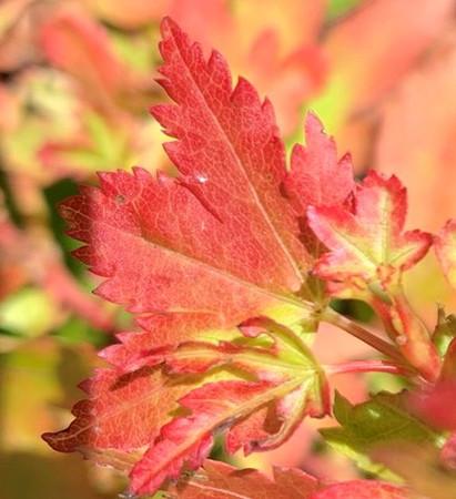 Acer palmatum Vics Broom Dwarf Japanese Maple