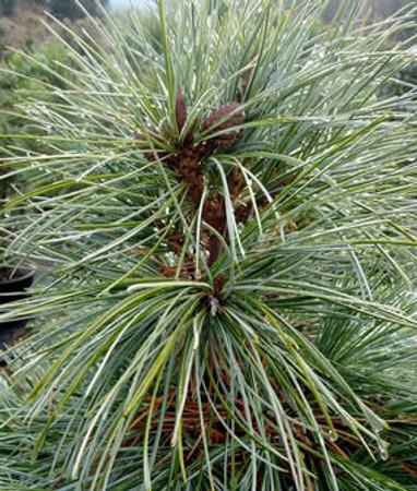 Pinus koraiensis Nana Dwarf Korean Pine