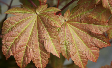 Acer japonicum Orange Fan Fullmoon Maple Tree