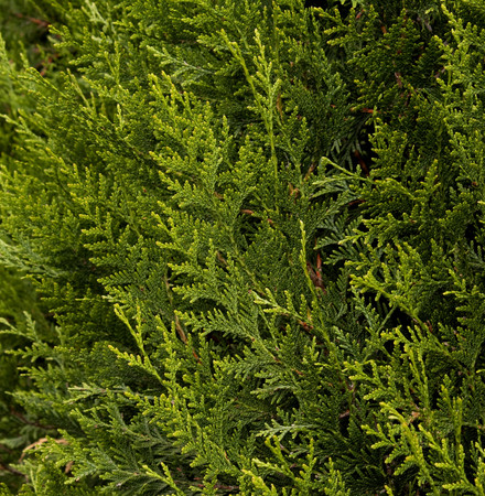 Thuja plicata Green Sport Pyramidal Western Red Cedar