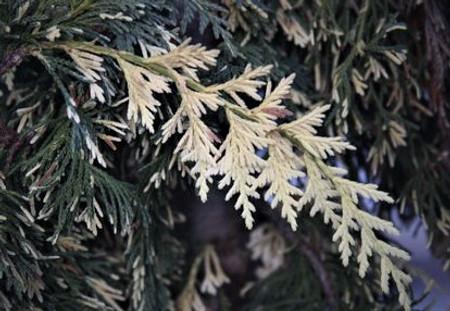 Chamaecyparis nootkatensis Sparkling Arrow Variegated Weeping Cedar