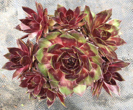 Sempervivum Westerlin Hens and Chicks